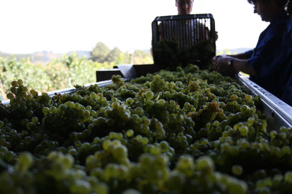 La recogida de la uva Chardonnay para elaborar el Xamprada da hoy la salida para la vendimia 2020 desde Prada a Tope 1