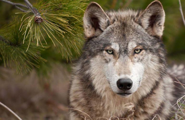 """Taller para el sábado en el museo de la Energía """"Tras la huella del lobo"""" 1"""