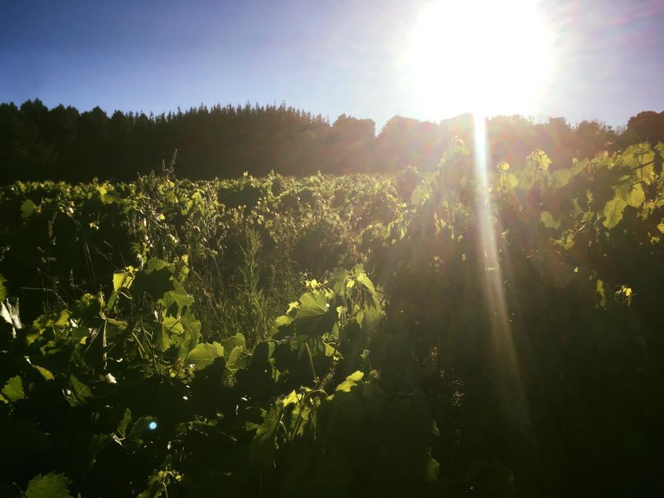 La junta autoriza dos hectáreas y media de nueva plantación de viñedos en el Bierzo 1
