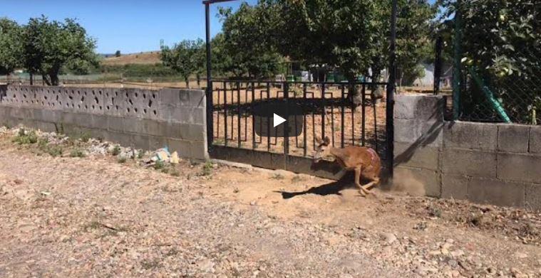 Vídeo / La Policía Municipal de Ponferrada libera a una corza herida y atrapada en el cierre de una finca en Fuentesnuevas 1