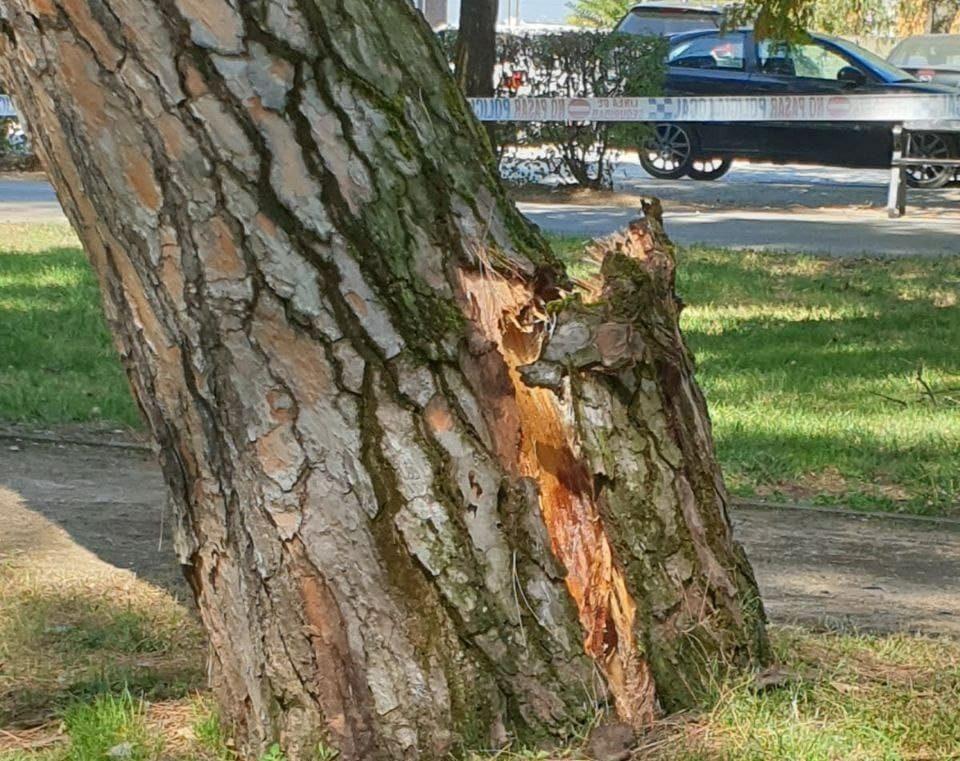 VÍDEO: Cae uno de los pinos más antiguos del Parque del Plantío 1