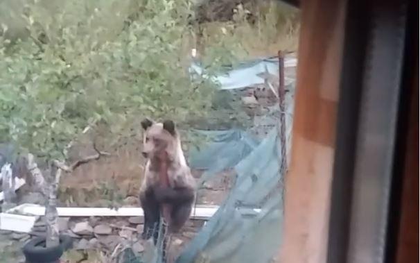 Un vecino de Orallo en Villablino se encuentra un oso pardo paseando tranquilamente por su parcela. VÍDEO 1