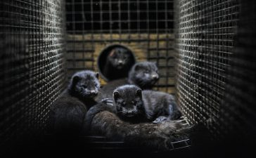 Un  nuevo caso de transmisión de Sars-2 en animales obliga al sacrificio y la destrucción de todos los visones americanos de una granja en Navatalgordo (Ávila) 3