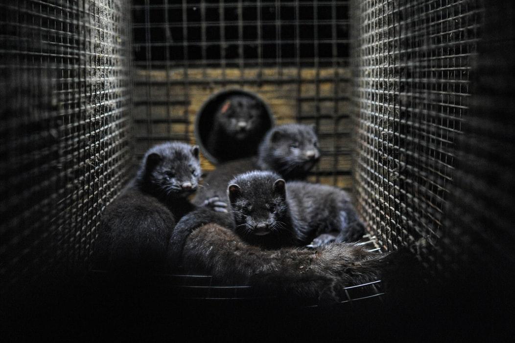Un nuevo caso de transmisión de Sars-2 en animales obliga al sacrificio y la destrucción de todos los visones americanos de una granja en Navatalgordo (Ávila) 1