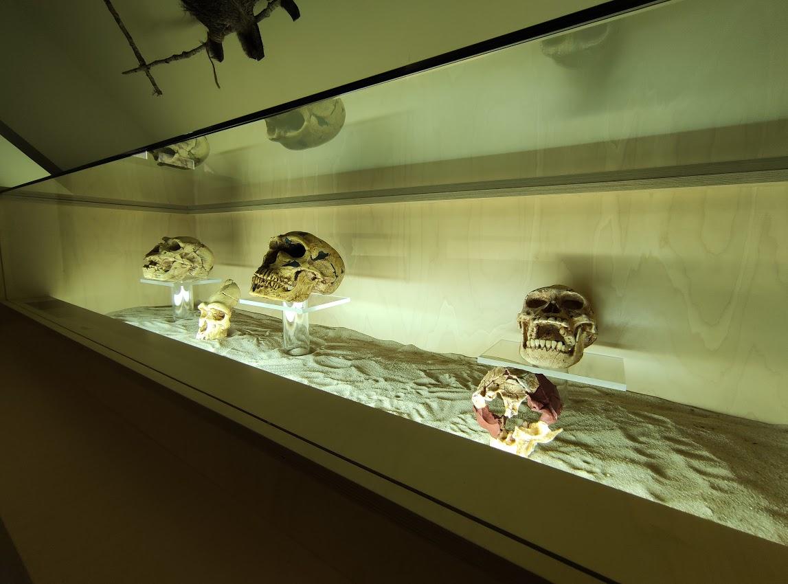 El Munic de Carracedelo incorpora 4 réplicas de cráneos a la exposición 'Darwin, el origen del hombre' 2