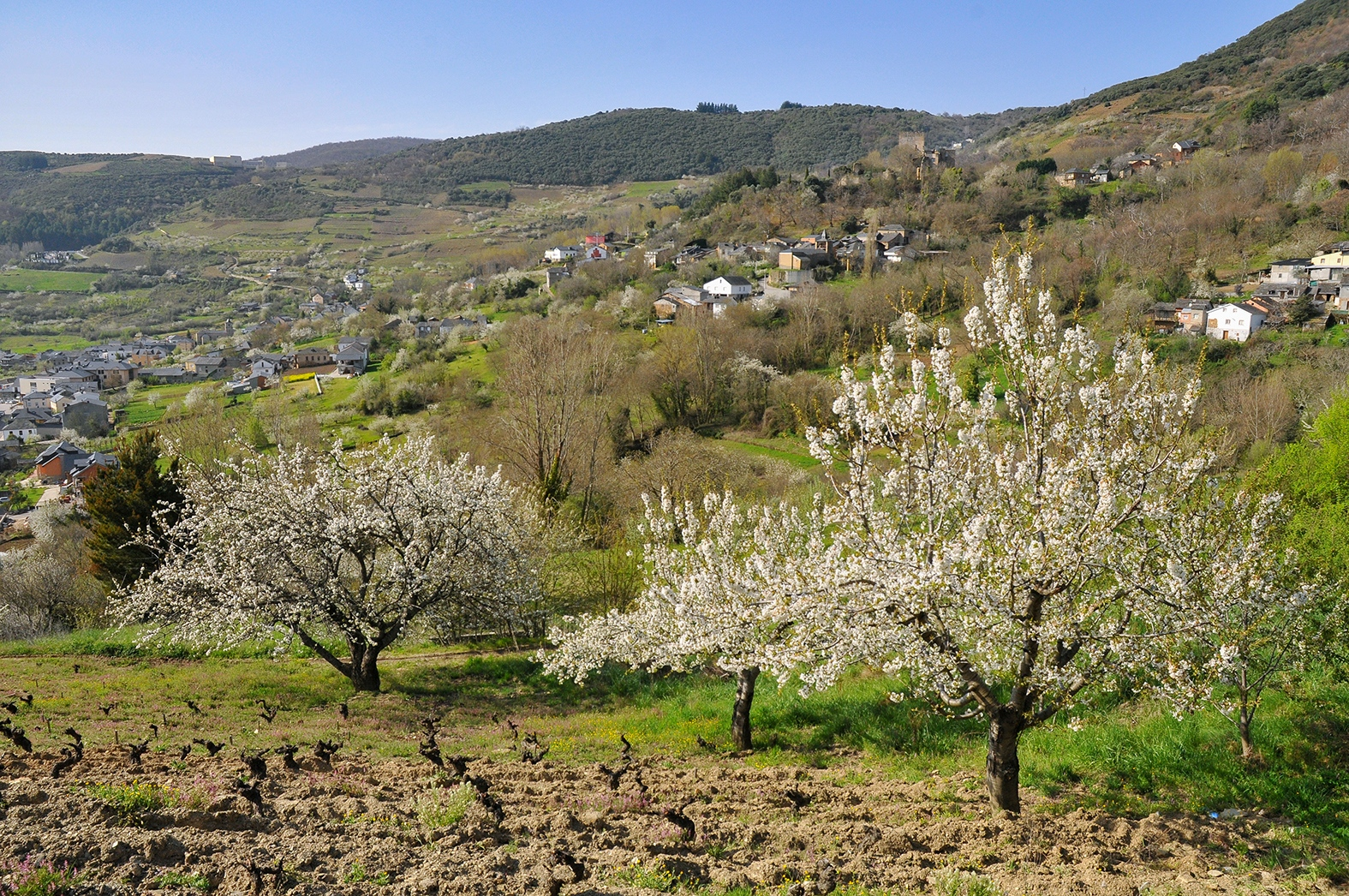 Corullón celebra la espectacular floración de sus cerezos con rutas de senderismo a partir de este fin de semana 1