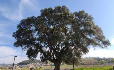 A la sombra de los árboles monumentales y singulares de Ponferrada 1