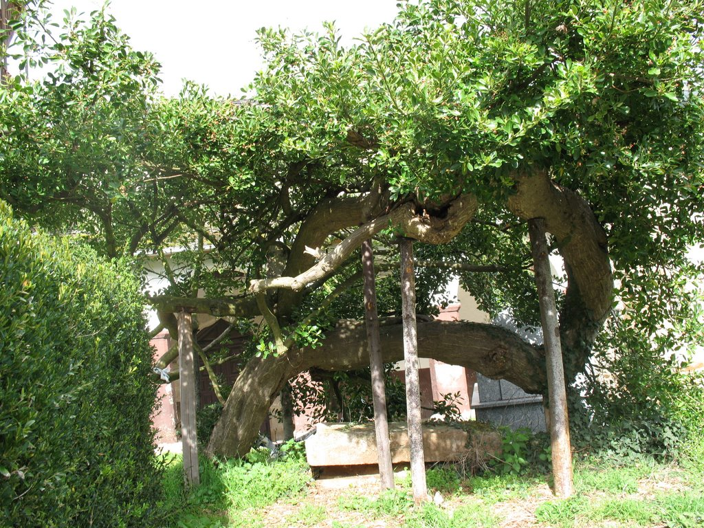 A la sombra de los árboles monumentales y singulares de Ponferrada 9