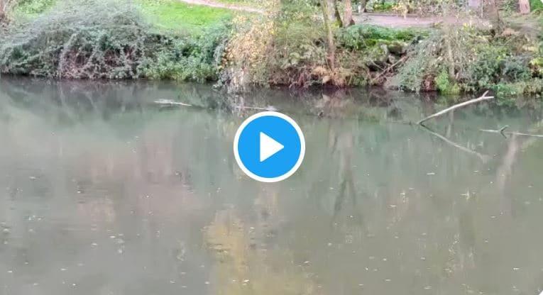 ¿Hurón o nutria? La Policía Municipal graba a un simpático animal en el paseo del río de Ponferrada y abre debate en Twitter 1