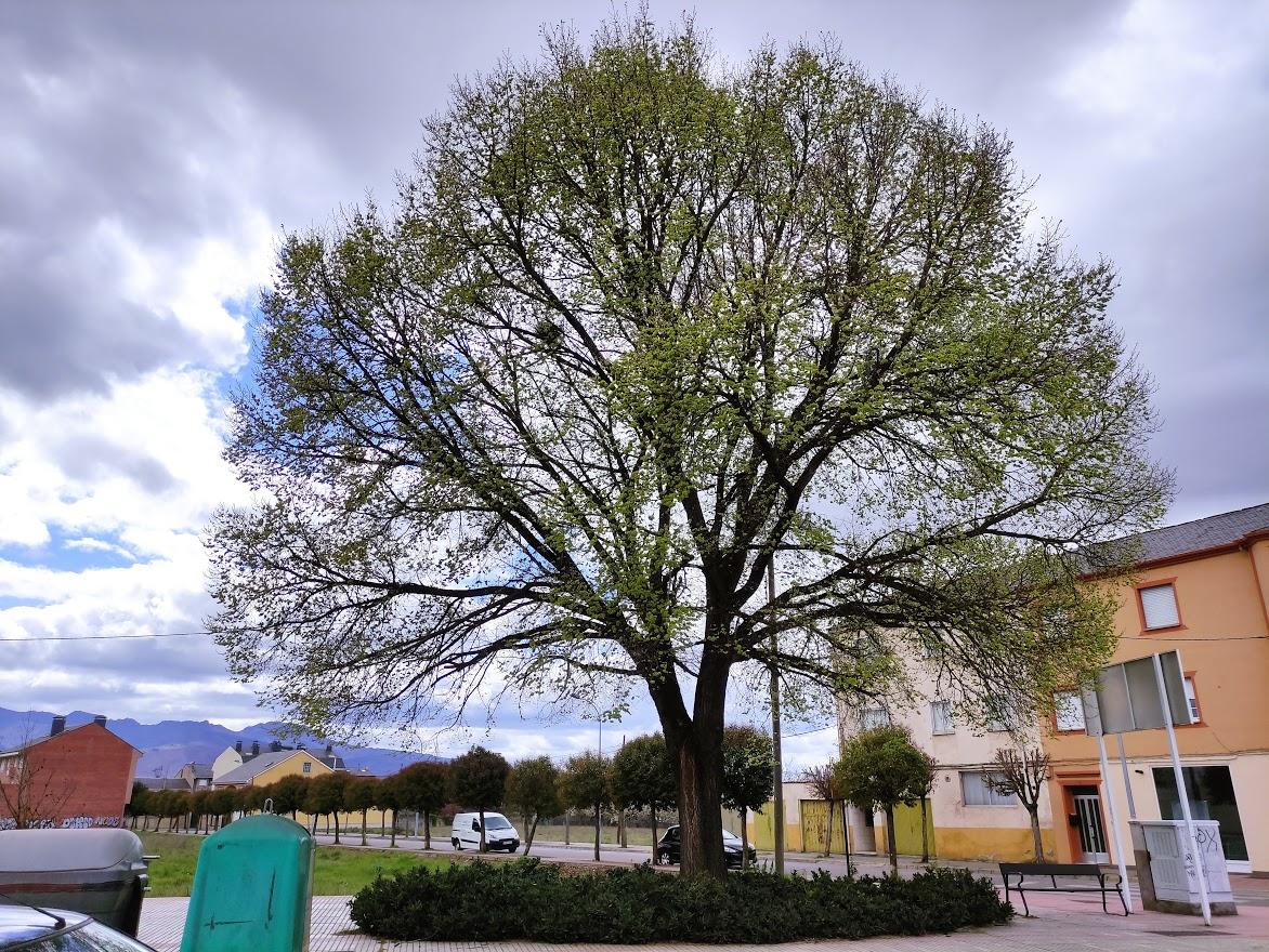 A la sombra de los árboles monumentales y singulares de Ponferrada 8