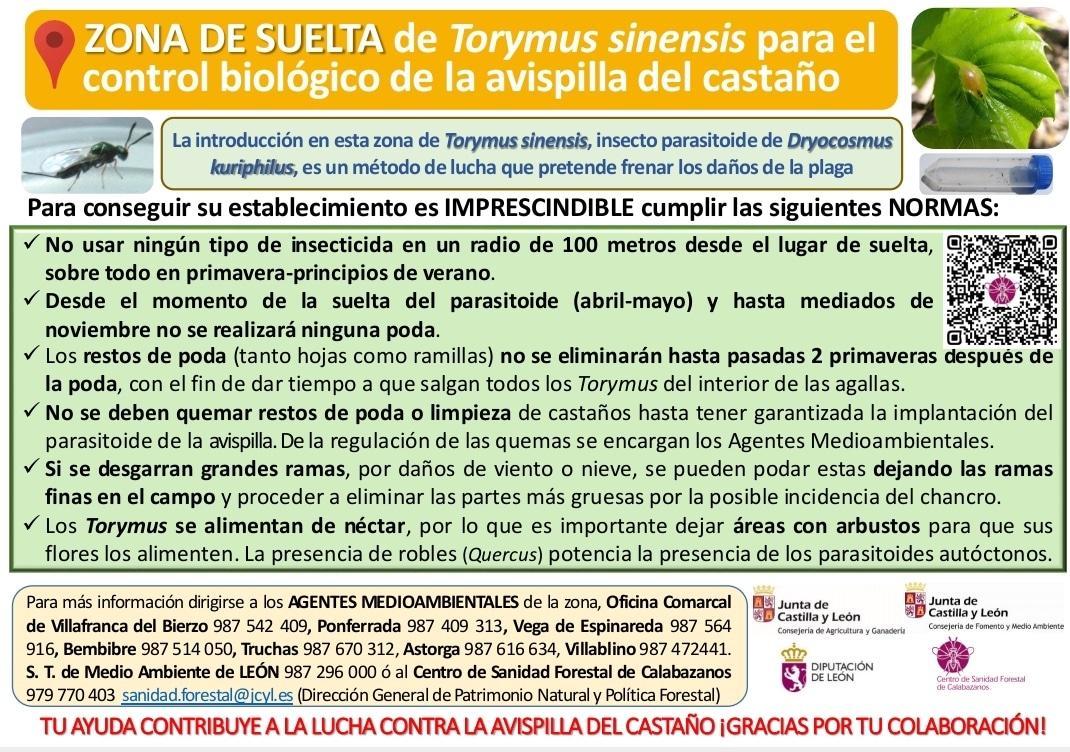 La Junta retoma las sueltas del parasitoide Torymus sinensis para el control de la avispilla del castaño en León 2