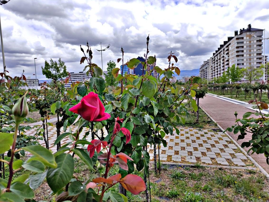 Los rosales de Ponferrada comienzan a mostrar sus flores en primavera 5