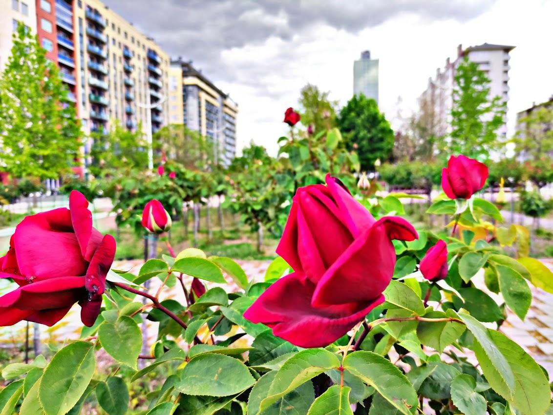 Los rosales de Ponferrada comienzan a mostrar sus flores en primavera 1