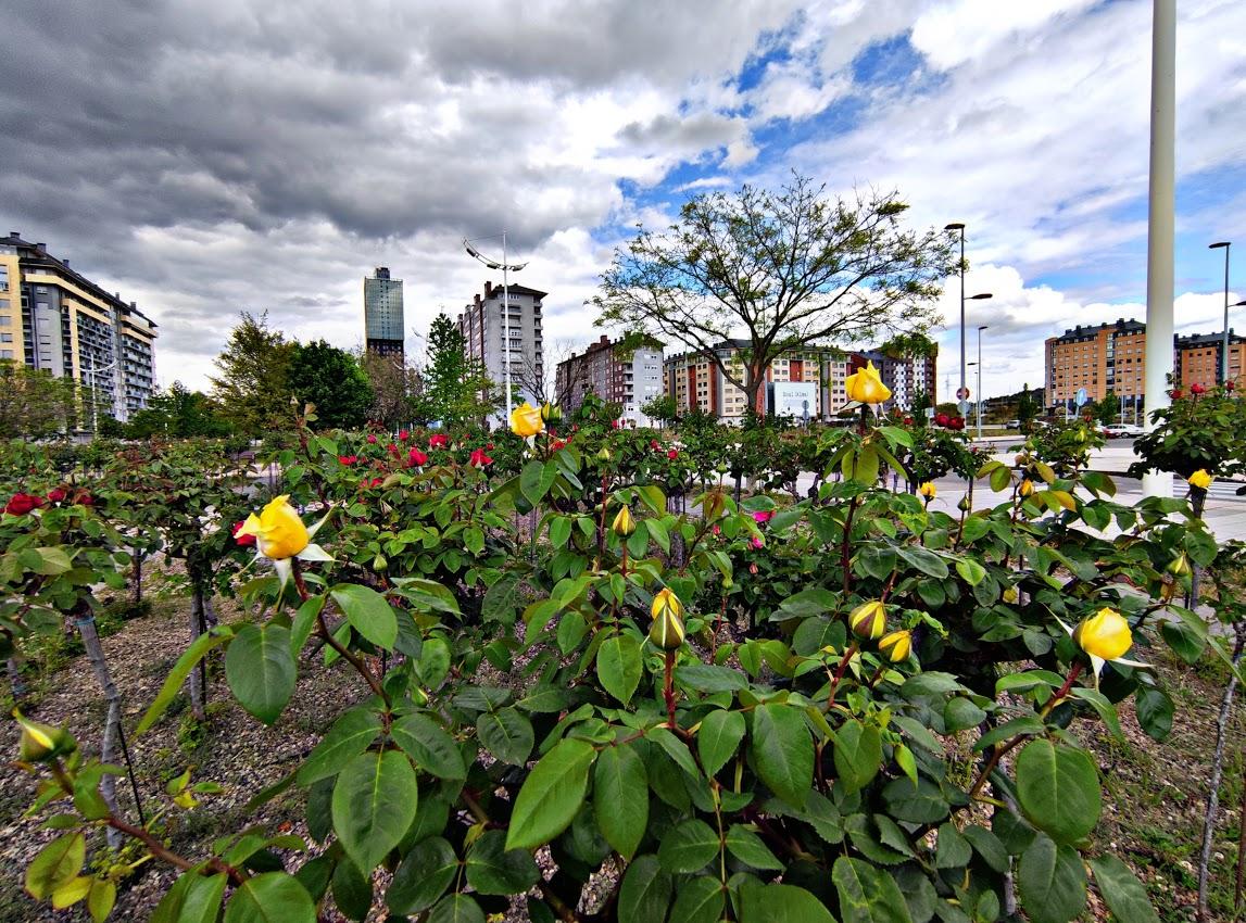 Los rosales de Ponferrada comienzan a mostrar sus flores en primavera 3