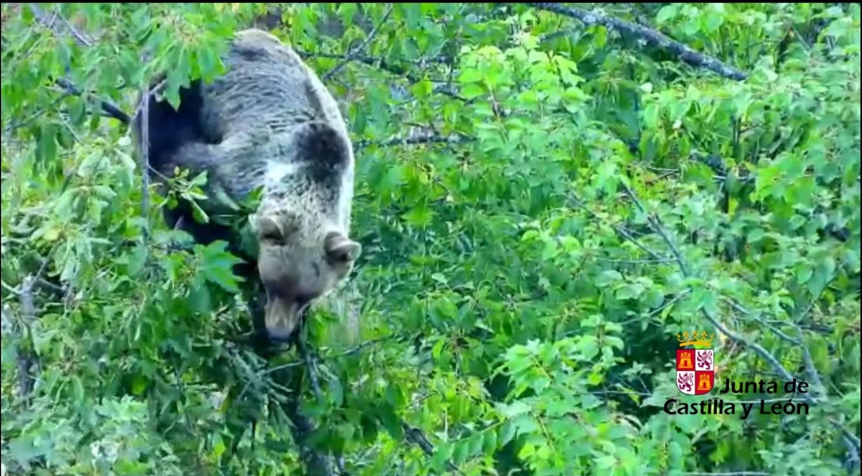 La Junta activa un teléfono 24 horas para el aviso temprano ante la presencia de osos en los entornos urbanos 1