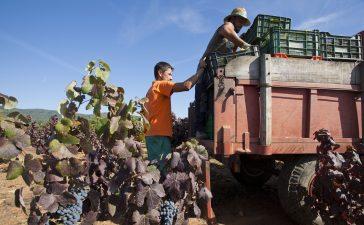 LA DO Bierzo aumenta un 11% la uva recogida hasta los 12,6 millones de Kilos 9